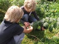 groente planten en oogsten